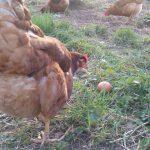 Was war zuerst? Das Huhn oder das Ei?